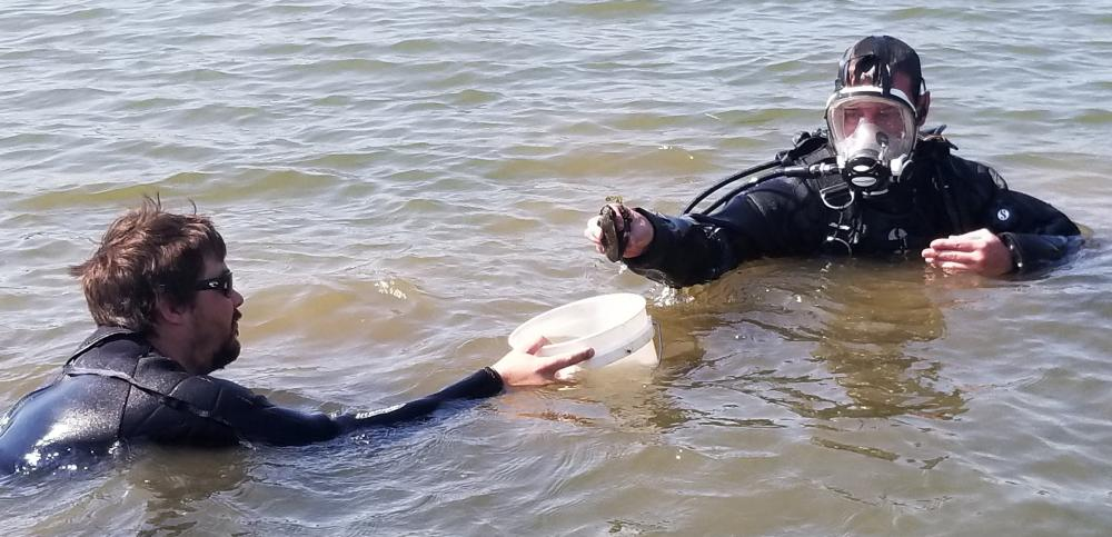 Divers Collecting Tagged Mussels