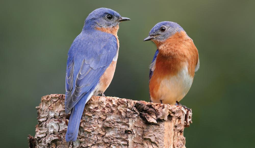 Eastern Bluebirds (Sialia sialis): male, left, and female, right
