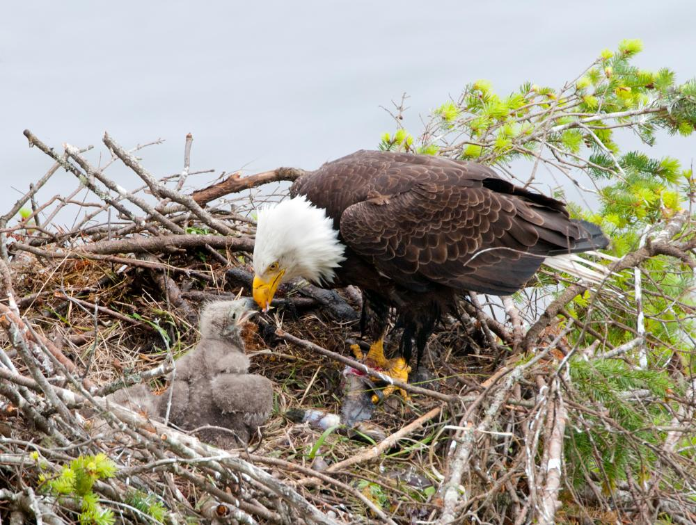 Bald Eagle in Nest with Young