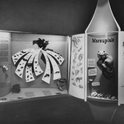 1950s Marsupial Display in the New York State Education Building