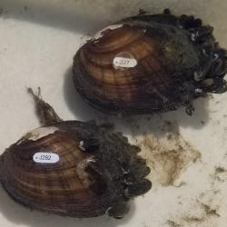Tagged Eastern Lampmussels (Lampsilis radiata) with attached zebra mussels.