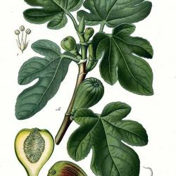 Fig tree leaves and fruit (ficus carcia)