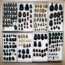 Entomology Collection of Beetles