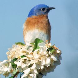 Bluebird on flowers