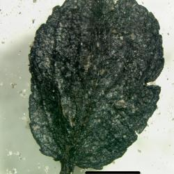25,000 year old Salix herbacea (arctic willow) leaf