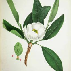 White Magnolia drawing
