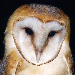 Barn Owl - Michael L. Smith Wildlife Photography