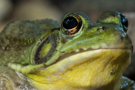 Green Frog close-up