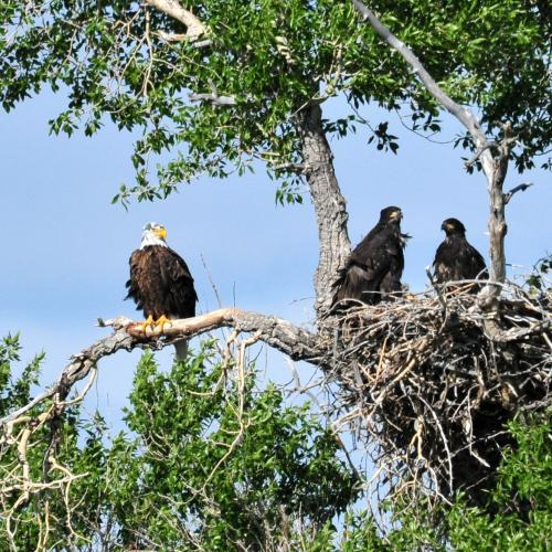 Bald Eagle and Young