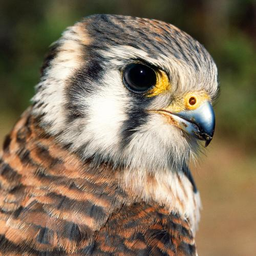 American Kestrel, photographed by Michael L. Smith