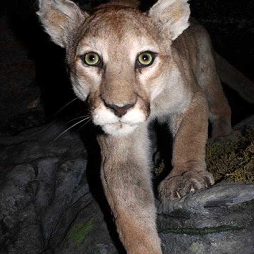 Cougar in museum exhibition