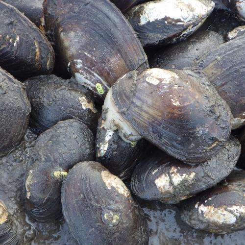Tagged Mussels