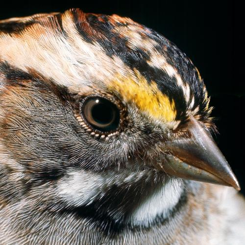 White Throated Sparrow (Photographed by Michael L. Smith)