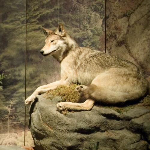 A wolf face in the exhibition